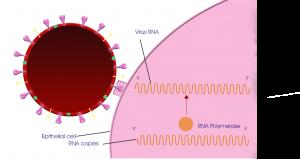 Make copies of coronavirus RNA