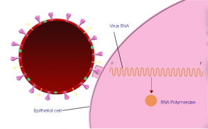 Novel Coronavirus or COVID -19 connect to human cell